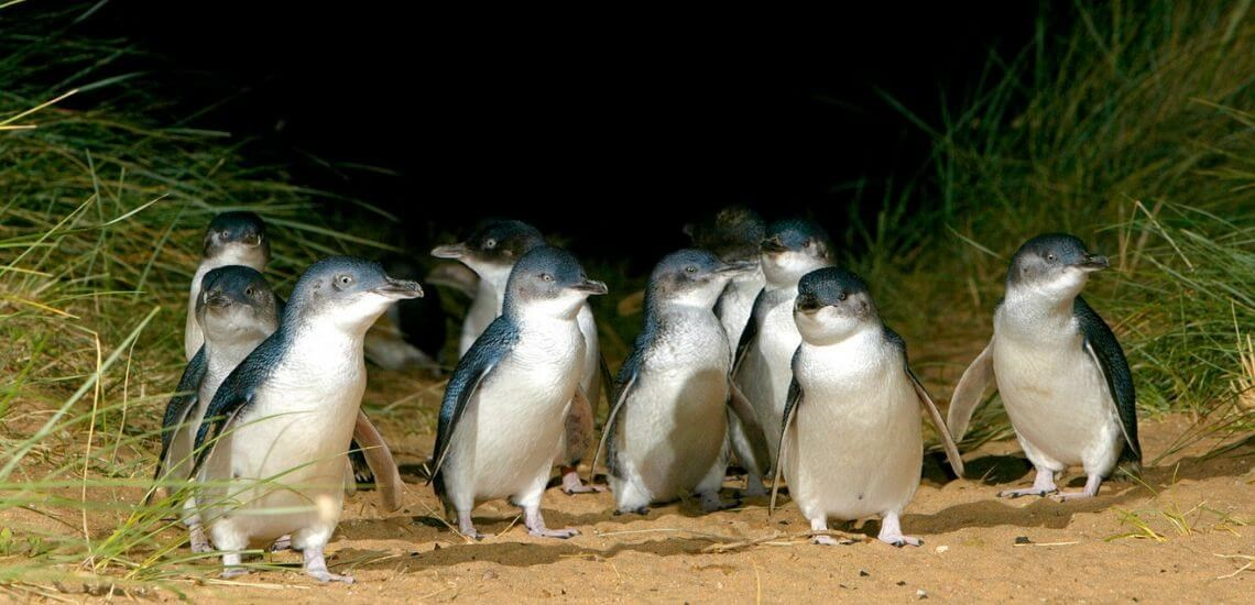 Penguins Phillip Island