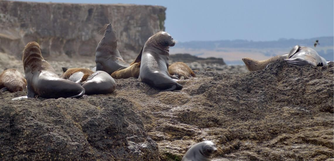 Seals of Phillip Island